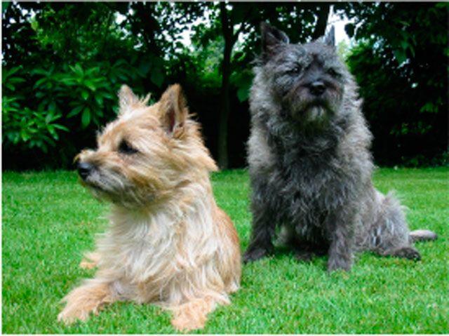 Cain Terrier y Cavallier King