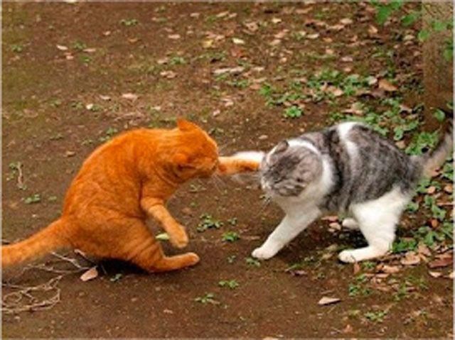 La sexualidad en los gatos
